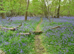 Captains Wood en zijn bluebells