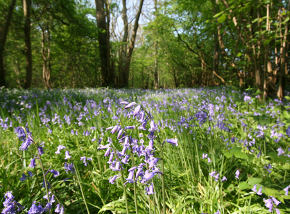 Bluebells in Foxley Wood