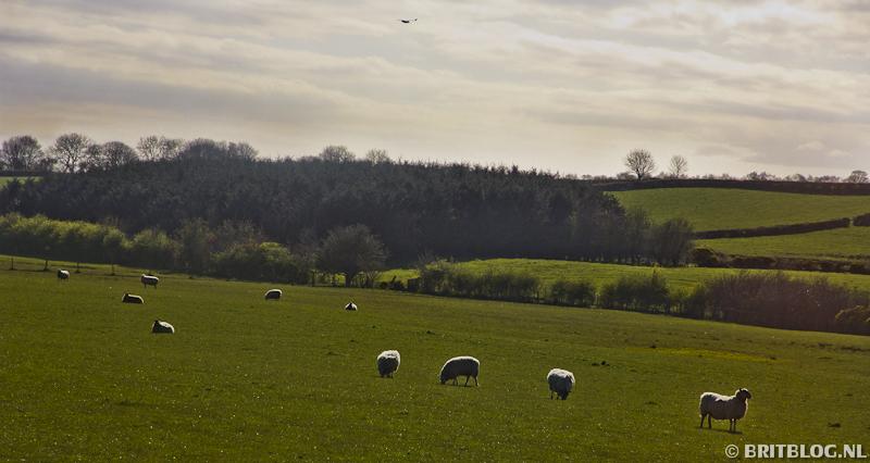 schapen in Noord-Ierland